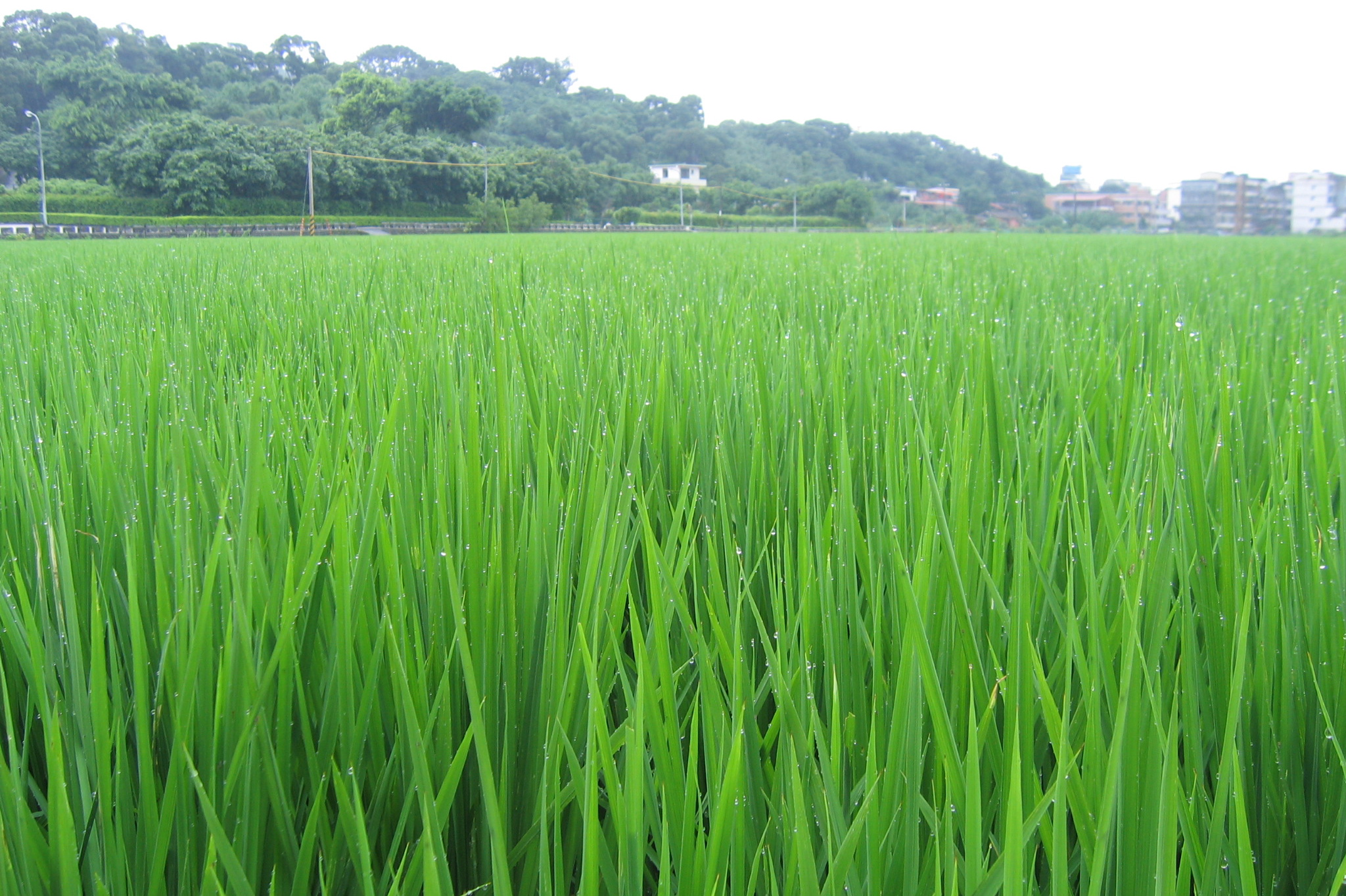 Agriculture Rice Planting These Young Rice Plants Are