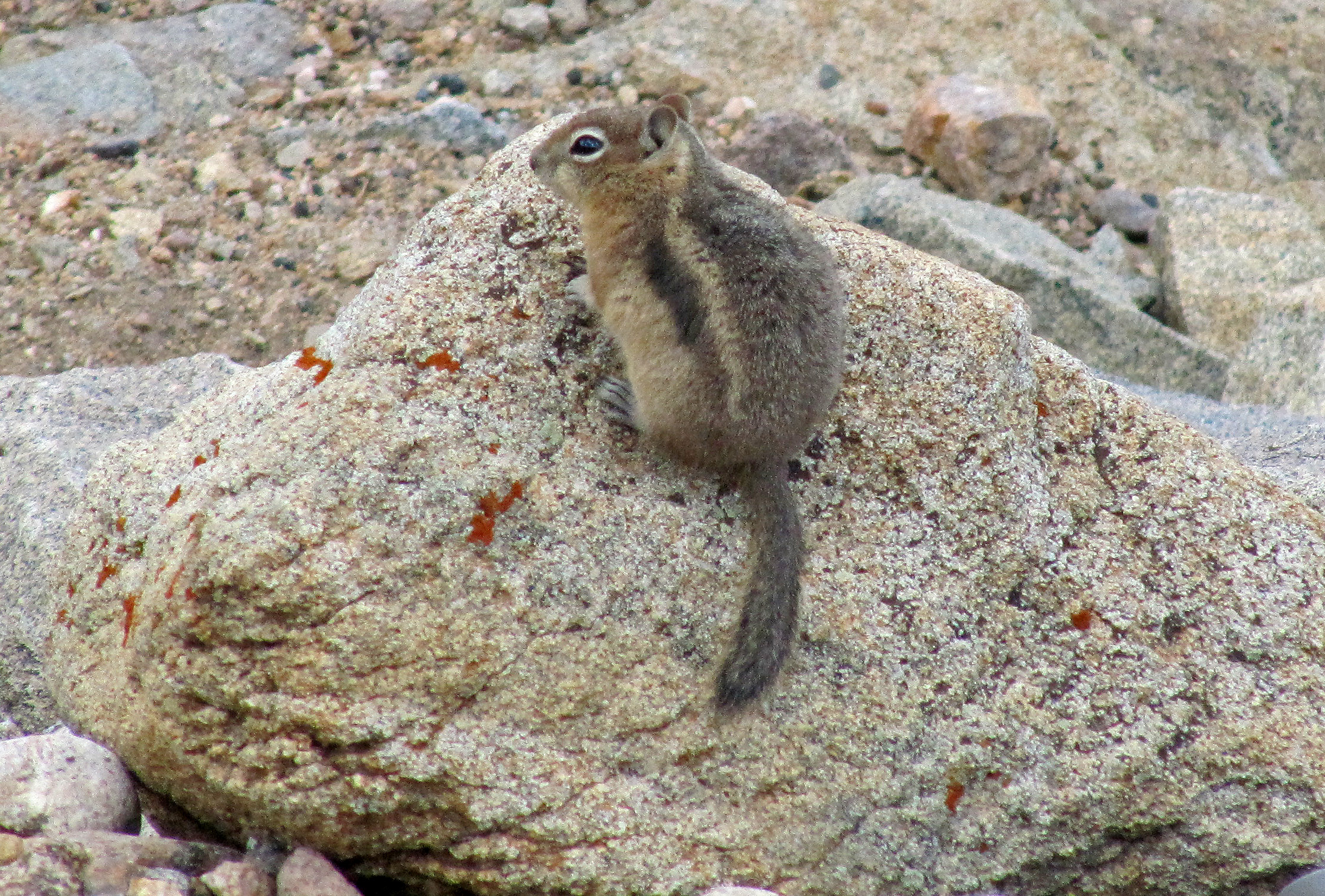 Photos of 2013 page 1 animals golden mantled ground squirrel callospermophilus lateralis was hanging out in the rocks with pikas near rainbow curve in rocky mountain national park sciox Image collections